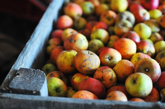 Apples for calvados, Normandy