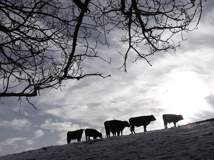 Cows in landscape UK. Photographer Paul Marshall
